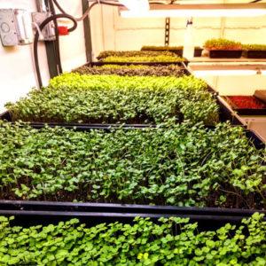 Microgreens in indoor plant